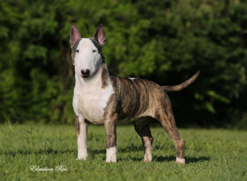 Our Bull Terriers Bubu