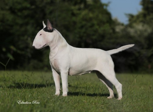 Our Bull Terriers Jasna