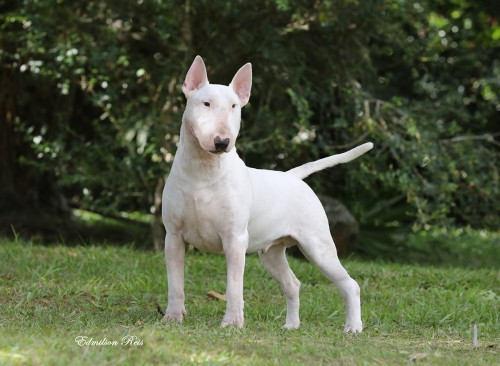 Our Bull Terriers Coco