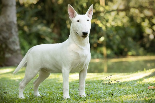 Our Bull Terriers Lola