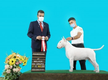 Bull Terriers Coco